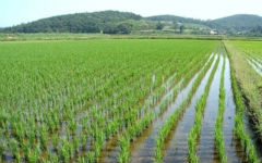 crimea-grow-rice_2